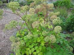 angelica_archangelica.jpg