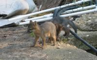 baby foxes 2